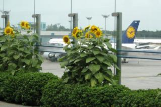 Sunflowers on the roof of Changi Airport